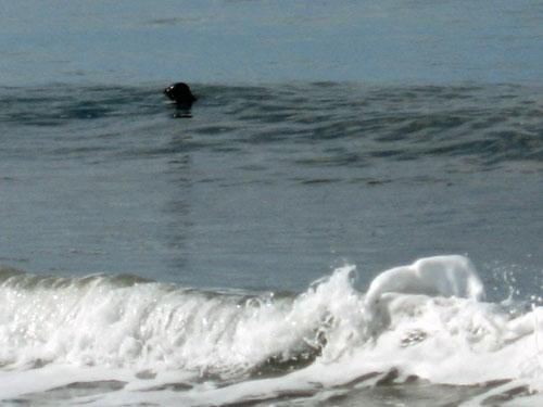 seal-fishing-surf